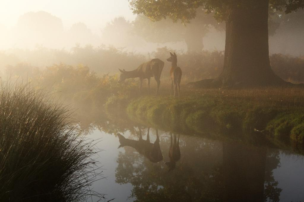 Two deer next to a river. They're standing under a big tree and one deer is bent over munching on shrubbery. There's a misty fog surrounding the deer.